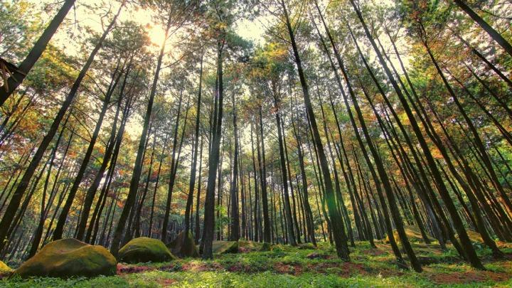 Pohon pinus di Gunung Pancar menjadi daya tarik untuk tempat foto-foto. via: malesmandi.com